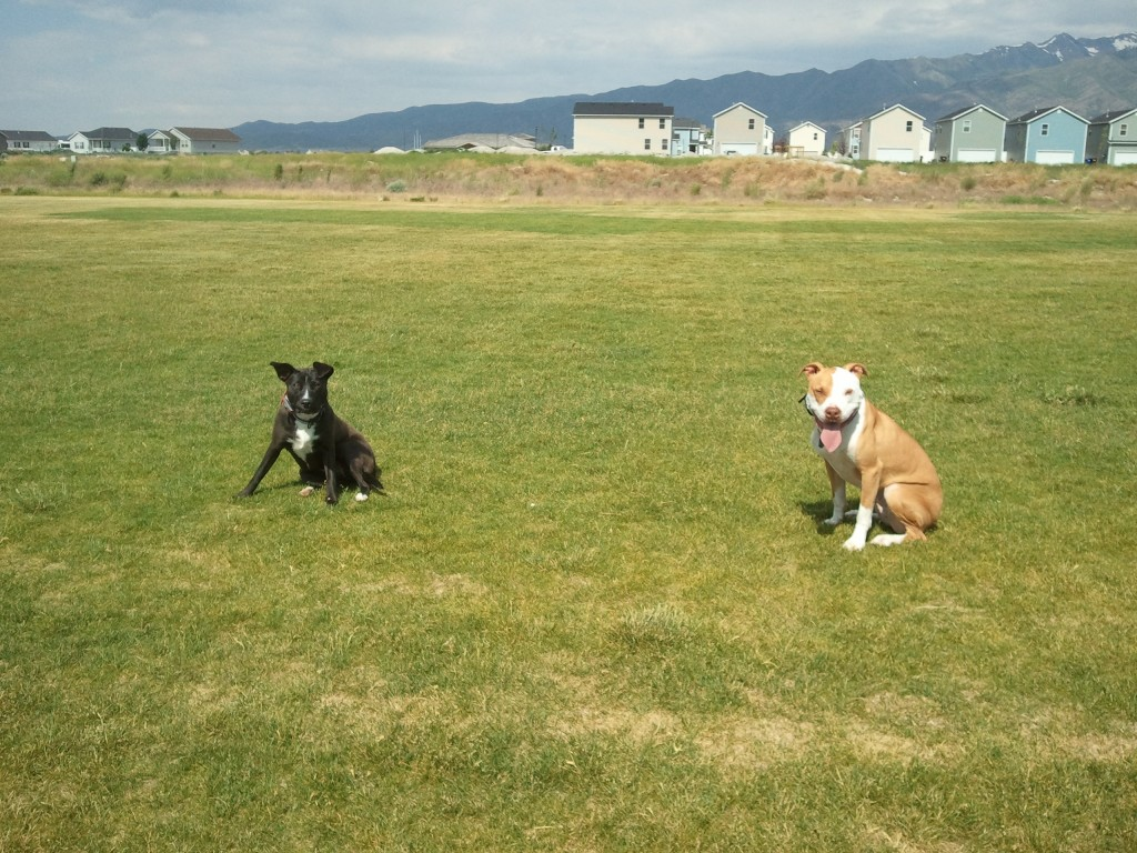 Nikki and Apollo practicing off leash sit/stays during their time in our Obedience Camp program