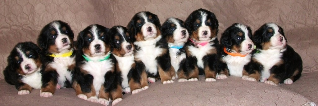 One of our Bernese Mountain Dog Litters @ 4 weeks
