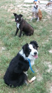 Tuon, Nikki & Apollo practicing an off leash sit/stay