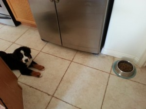 Oz, the Bernese Mountain Dog puppy, learning to wait patiently for his food